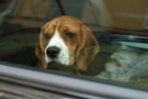 Животных нельзя оставлять в машине в жару